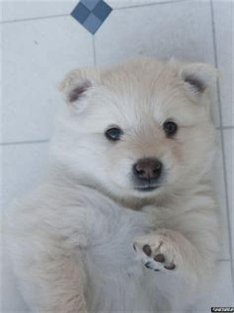pomimo dog american eskimo pomeranian mix info  pictures