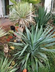 Yucca Palme Winterhart : winterharte yuccas und palmen ~ A.2002-acura-tl-radio.info Haus und Dekorationen