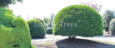 sichtschutz aus pflanzen fuer garten terrasse luxurytrees