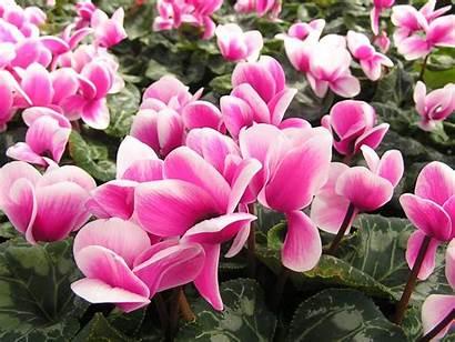 Flowers Pink Flower Cyclamen Israel National Wallpapers
