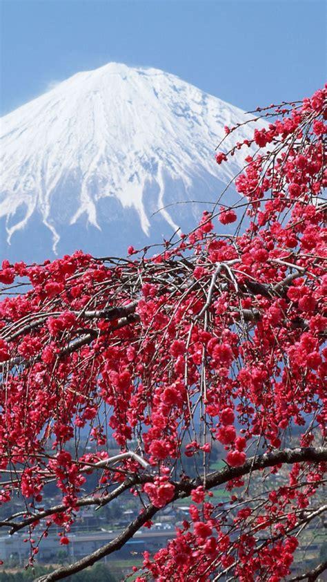 vernal equinox  japan japan sakuracherry blossoms