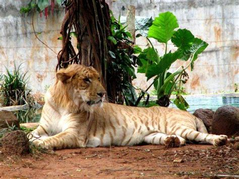 1000+ Images About Ligers And Tigons On Pinterest