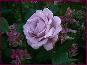 Mainzer Fastnacht Rose : mainzer fastnacht bl ht sie nochmal seite 1 rund um die rose mein sch ner garten online ~ Orissabook.com Haus und Dekorationen