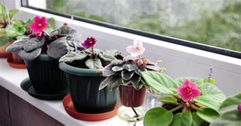 Tik skaisti ziedi! Vēlaties uzzināt noslēpumu, kā izaudzēt tik krāšņas vijolītes? - Amizanti.lv