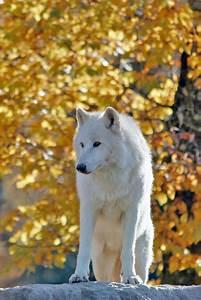 Bébé Loup Blanc : loup arctique dans le parc de sainte croix en moselle ~ Farleysfitness.com Idées de Décoration