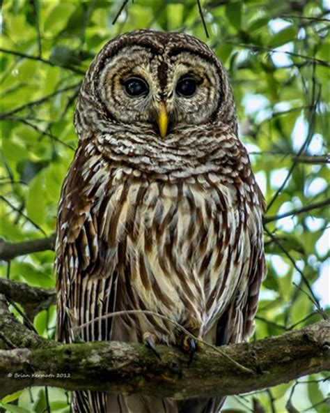 barred owl strix varia central florida ehdesigns