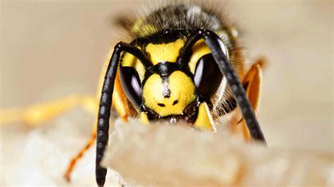 hausmittel gegen wespen hausmittel gegen wespen welche helfen wirklich