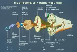 Diagram Of Wool Fibre Structur - Csiro Science Image