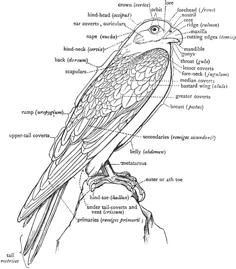 A Labeled Diagram Of A Falcon To Show The Nomenclature Of The External Parts  Clipart Etc