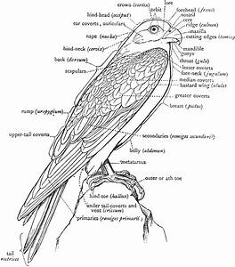 A Labeled Diagram Of A Falcon To Show The Nomenclature Of