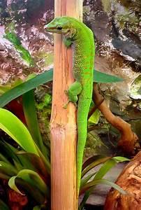 Madagascar day gecko - Wikipedia