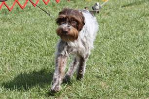 wirehaired pointing griffon breed information wirehaired