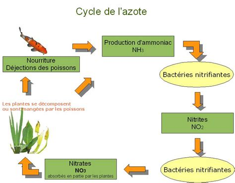 bassin de jardin maintenance cycle de l azote