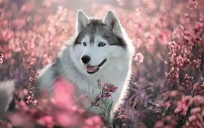 Husky Dog Spring Animals Wallpapers Eyes Desktop
