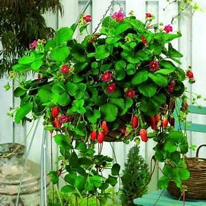 Erdbeeren Pflege Balkon : einfach fein tipps zum anpflanzen von erdbeeren f r den ~ Lizthompson.info Haus und Dekorationen