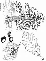Coloring Tree Oak Printable Trees Recommended Mycoloring sketch template
