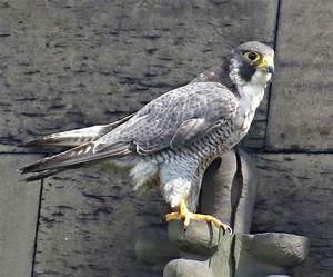 Peregrine Falcon   NatureSpot  Falcon