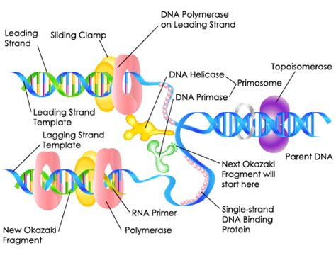 dna replication biology study guide science