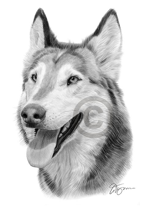 pencil drawing portrait   grey wolf  artist gary tymon