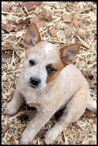 25+ bästa Australian cattle dog idéerna på Pinterest ...