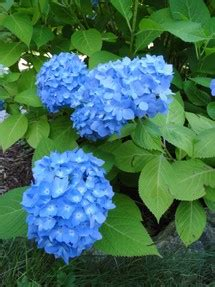 perennial plants mail order buying perennials mail order plants or buy local