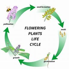 Flowering Plant's Life Cycle