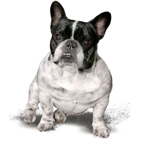 File Ee  French Bulldog Ee   Name Panda From Hungary Jpg