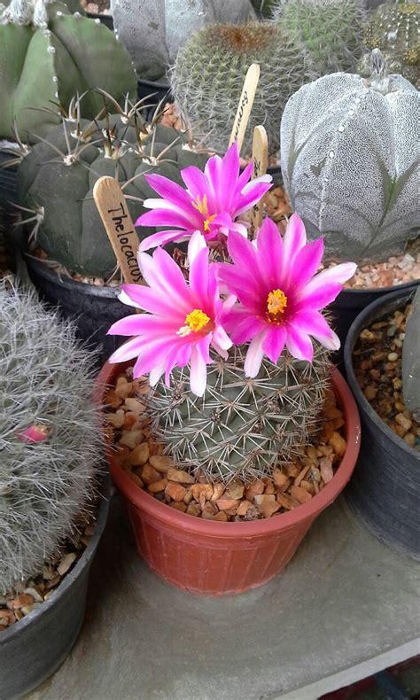 Grandma Garden (สวนคุณยาย น้องข้าวปั้น): การปลูกแคคตัสให้ออกดอกง่ายๆ