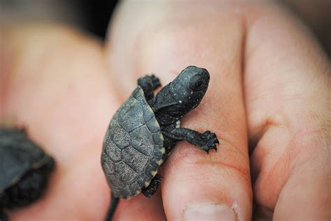 une tortue d eau