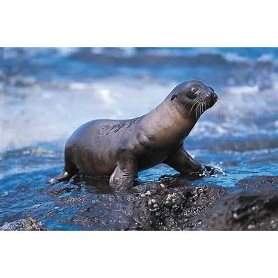 Galapagos Sea Lion Pupping Season Begins