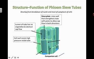 Phloem Structure And Function  2016