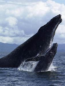 Mother and baby Humpback whale !! | Animals | Pinterest