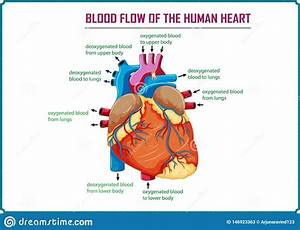 Anatomy Heart Blood Flow