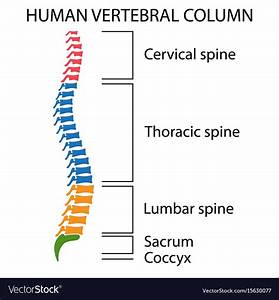 Wiring And Diagram  Diagram Of Vertebrae In Spine