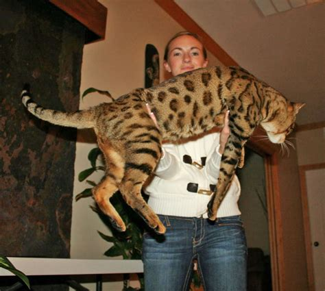 Savannah Studs  Exotic Cats For Sale  Select Exotics