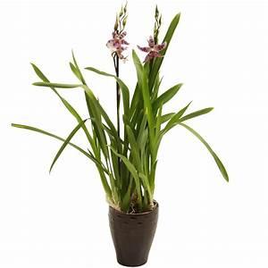 Cache Pot Orchidée : orchid e cambria 2 branches cache pot pot 13 cm orchid es maison botanic ~ Teatrodelosmanantiales.com Idées de Décoration