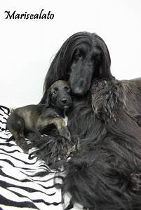 Pin By Sammensuriumet On Afghan Hounds