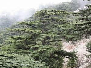 Cedars of Lebanon Oldest Multimillenary Cedar Trees