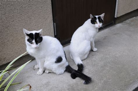 black and white cats file white and black cat pair hisashi 01 jpg wikimedia commons