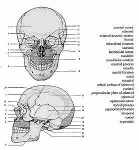 Drawing Anatomy Anatomy Of  U2014 Page 1  U2014 Filetraffic