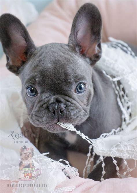 blue french bulldog puppy  sale  french bulldog