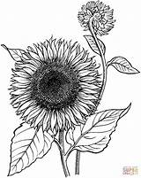 Sunflower Coloring Clipart Sheets Pages Clip Library sketch template