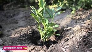 Comment Tailler Une Haie De Laurier : comment planter un laurier youtube ~ Melissatoandfro.com Idées de Décoration