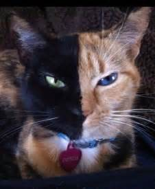 venus the cat venus the cat is own fraternal literally catster