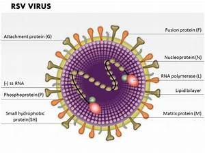 0714 Rsv Virus Medical Images For Powerpoint