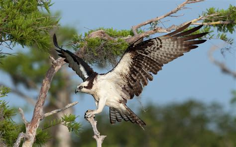 osprey hd wallpapers background images wallpaper abyss