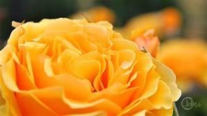Gelbe Rose Bedeutung : deutschland bickenbach blumen und bl ten gelbe rosenbl te ~ Whattoseeinmadrid.com Haus und Dekorationen