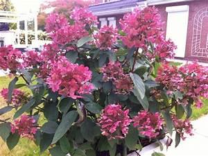 Hortensie Wims Red : rispen hortensie wims red hydrangea paniculata wims red ~ Michelbontemps.com Haus und Dekorationen