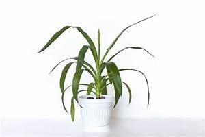 Palme Umtopfen Wurzeln Abschneiden : yucca palme richtig pflegen abschneiden plantura ~ Frokenaadalensverden.com Haus und Dekorationen