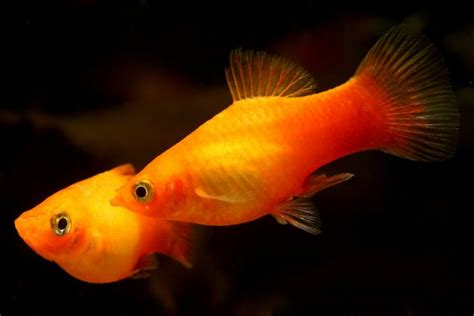 steps   care   baby platy fish
